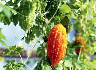 Выращивание момордики из семян