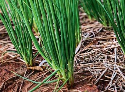 Выращивание лука-шалота