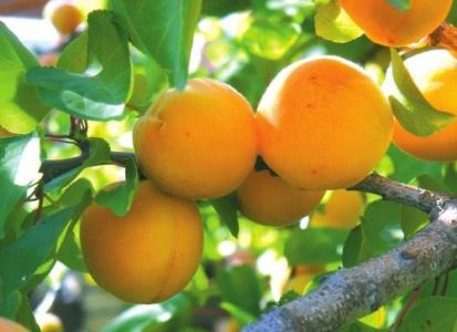 Чем полезен абрикос для организма