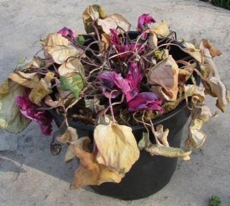 Почему пожелтели листья у цикламена и что с этим делать