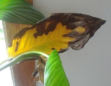 Почему желтеют листья у спатифиллума – причины и варианты помощи цветку