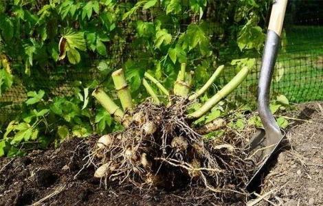 Когда выкапывать георгины и как их сохранить до весны