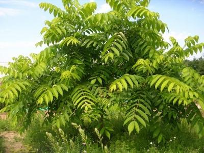 Посадка и выращивание ореха маньчжурского