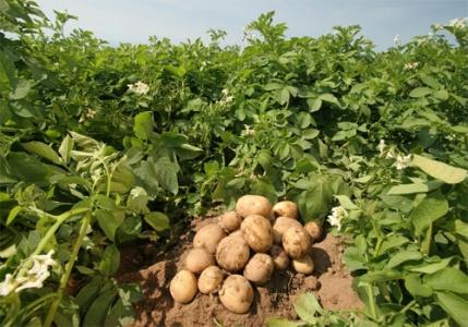 Болезни картофеля и борьба с ними