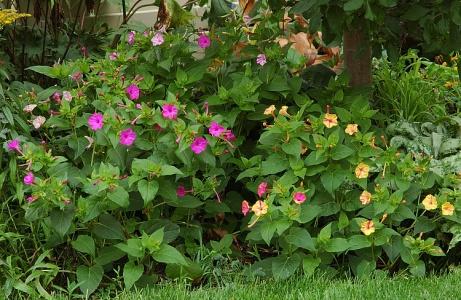 Мирабилис: выращивание из семян