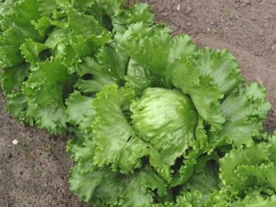 Технология выращивания салата Айсберг