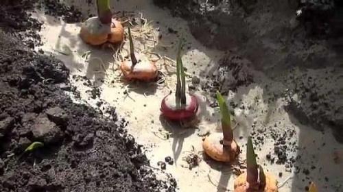 Гладиолусы - посадка и уход в открытом грунте